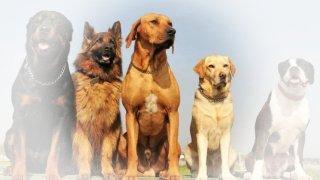 Rüyada köpek görmek ne anlama gelir? Rüyada köpek görmek neye işarettir?