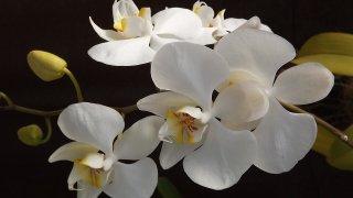 Orkide bakımı nasıl yapılır? Orkide bakımında nelere dikkat edilmeli? Orkidenin anlamı nedir?
